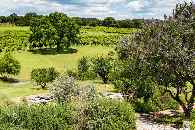 Summer View of the Vineyards. Small vineyard in the Texas hill country with cascading slopes and trees royalty free stock images