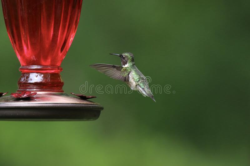 A Summer Visitor at the Hummingbird Feeder stock photos