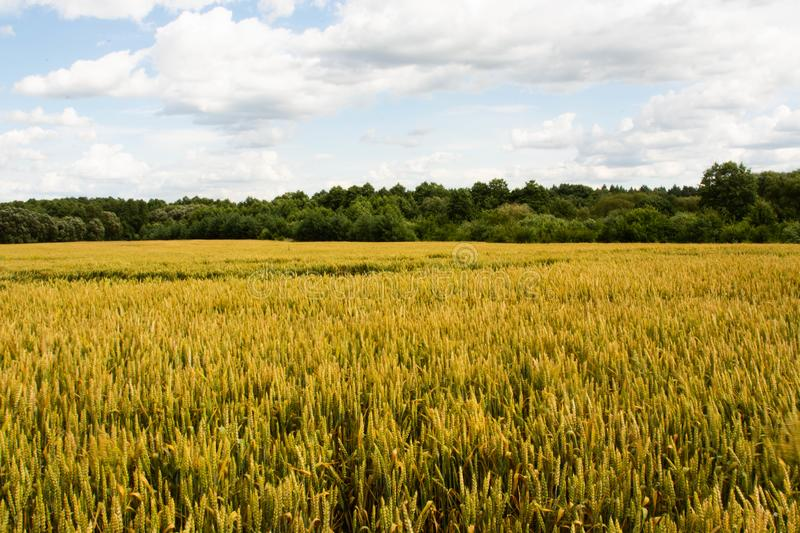 Summer wheat field, blue sky with clouds, agriculture background. Ukraine royalty free stock photography