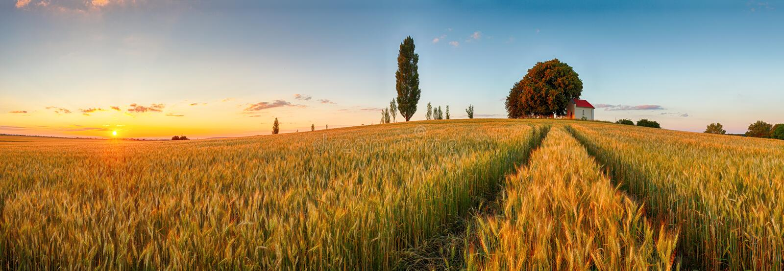 Summer wheat field panorama countryside, Agriculture royalty free stock image