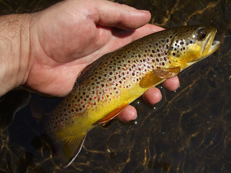 Summer Wild Brown Trout stock images