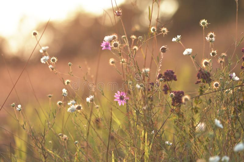 Wildflowers meadow. Closeup of small various summer wildflowers in meadow with soft bokeh in background and beautiful evening sunlight royalty free stock photos