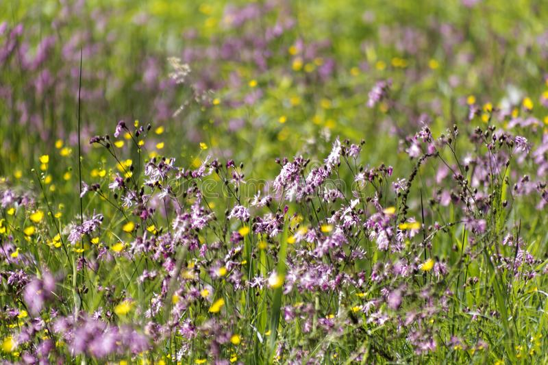 Violet wild flowers royalty free stock images