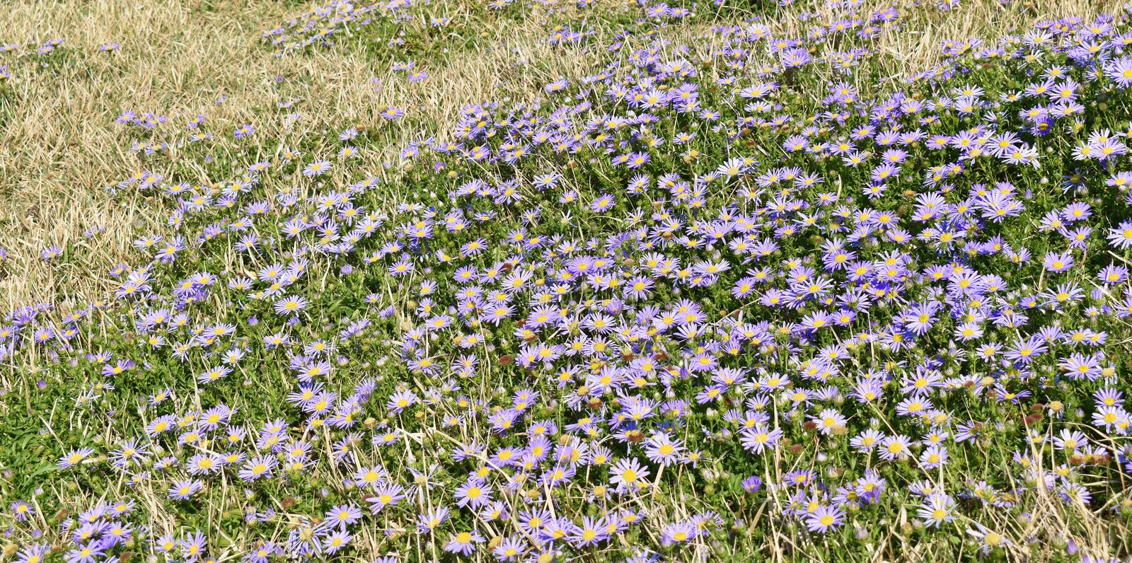 Wild purple flowers grass back ground. Summer wild purple flowers grass back ground texture copy space stock photo