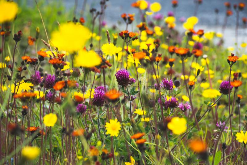 Summer wildflowers in bright colors royalty free stock photos