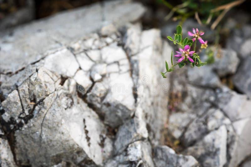 Summer Wildflowers and Limestone Pinnacle of Akiyoshidai stock image