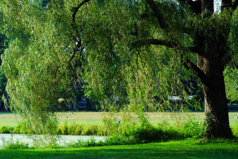 Summer Wind. A tree on the edge of a pond with long hanging leaves in summer time royalty free stock image