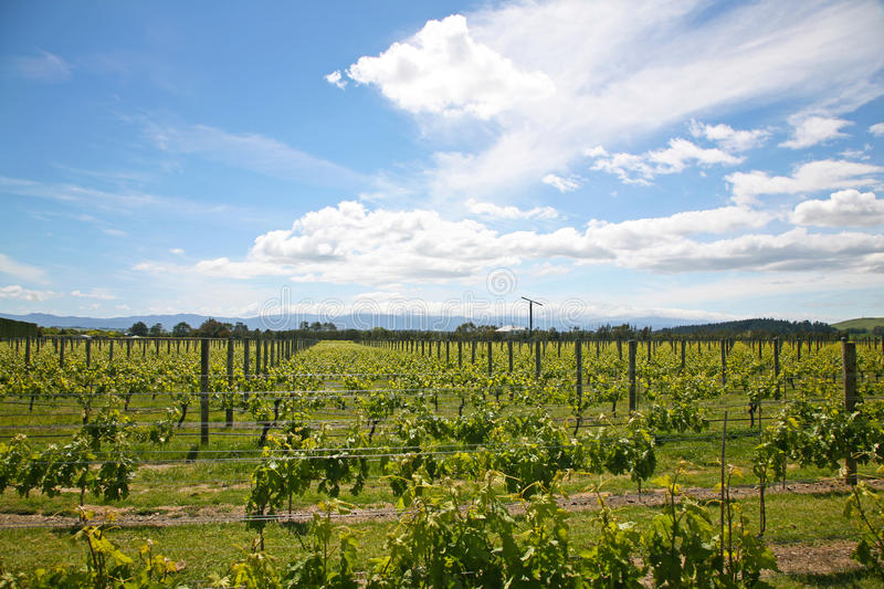 Martinborough vineyard in the summer stock image