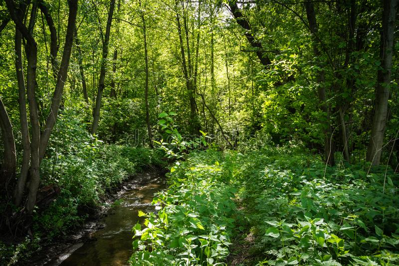 Forest stream among trees on a summer sunny day stock image