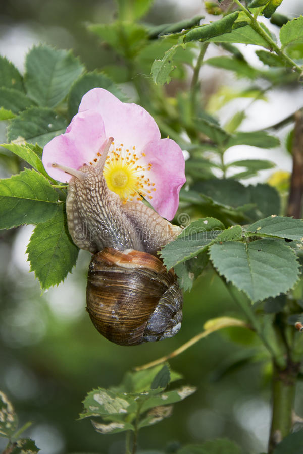 Summer in the woods on a branch of wild rose crawling snail. Summer in the woods on a branch of wild rose snail creeps to a pink flower royalty free stock images