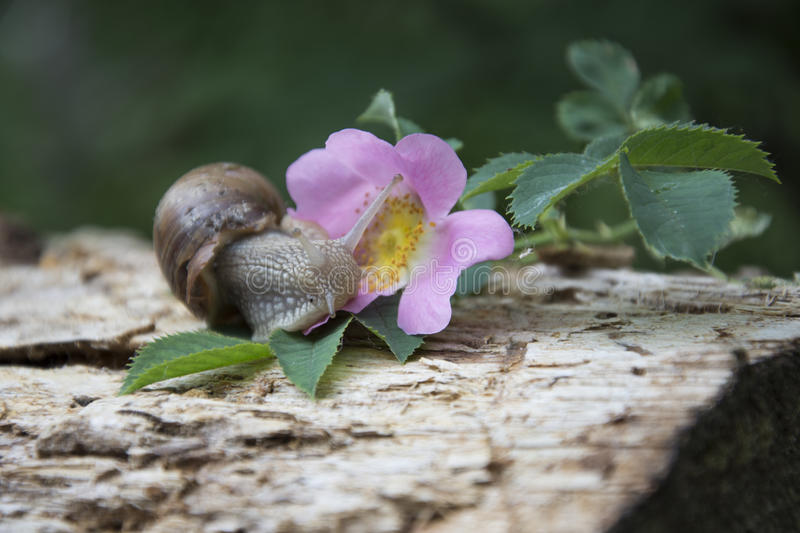 Summer in the woods on a branch of wild rose crawling snail. Summer in the woods on a branch of wild rose snail creeps to a pink flower stock image