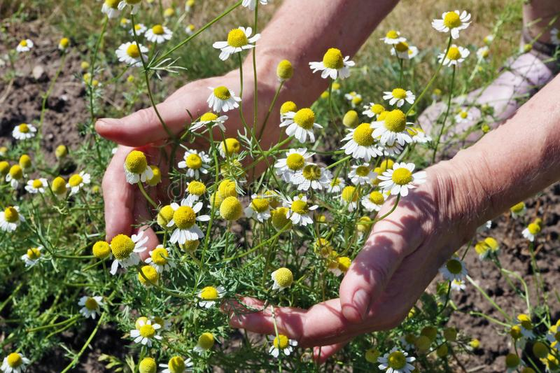 The woman - farmer care and plucks a medical daisies flowers stock photo