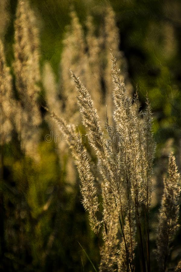 Summer yellow grass in the warm evening sun on the meadow. Beautiful summer yellow grass in the warm evening sun on the meadow royalty free stock photo