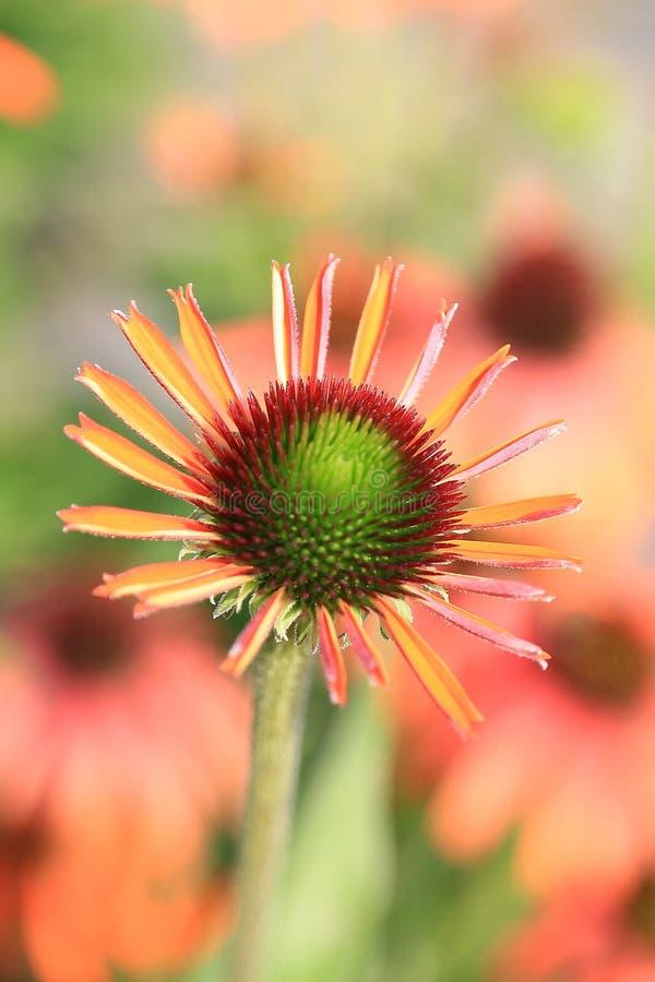 Summerflowers bonitos imagem de stock