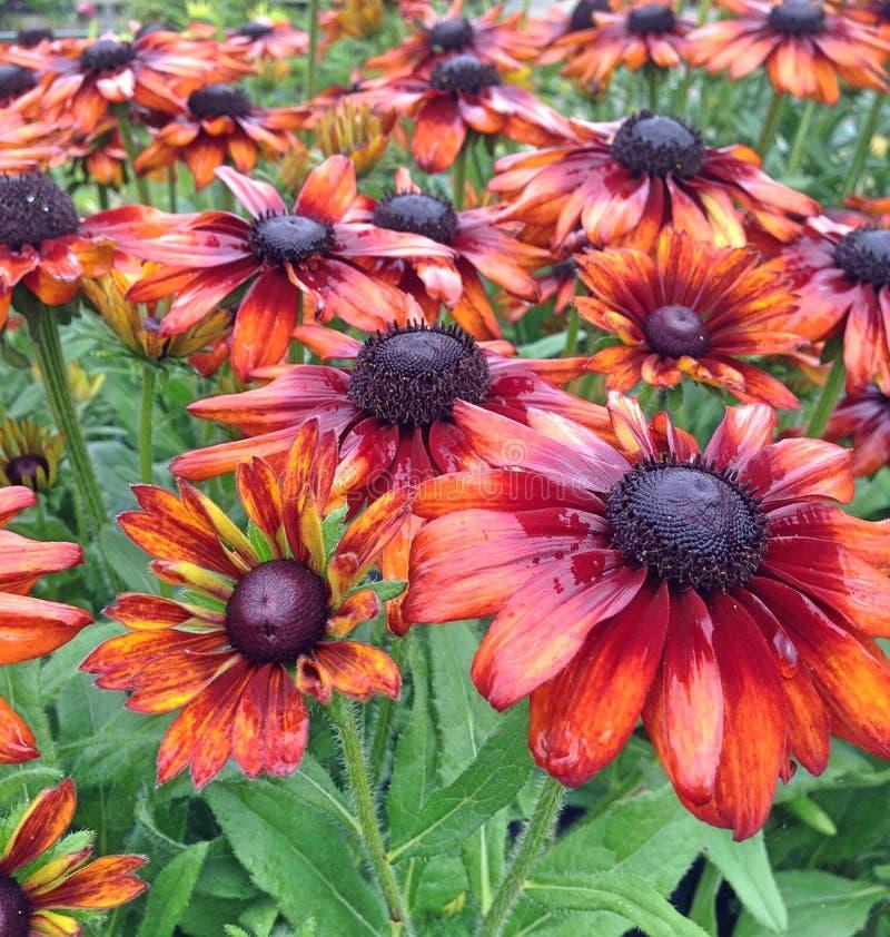 Summerinabloemen van bronsrudbeckia na regenval stock foto