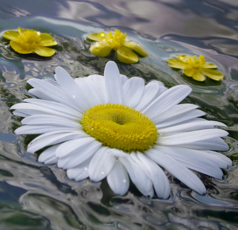 Summernight, daisy and buttercop floating in the water stock photography