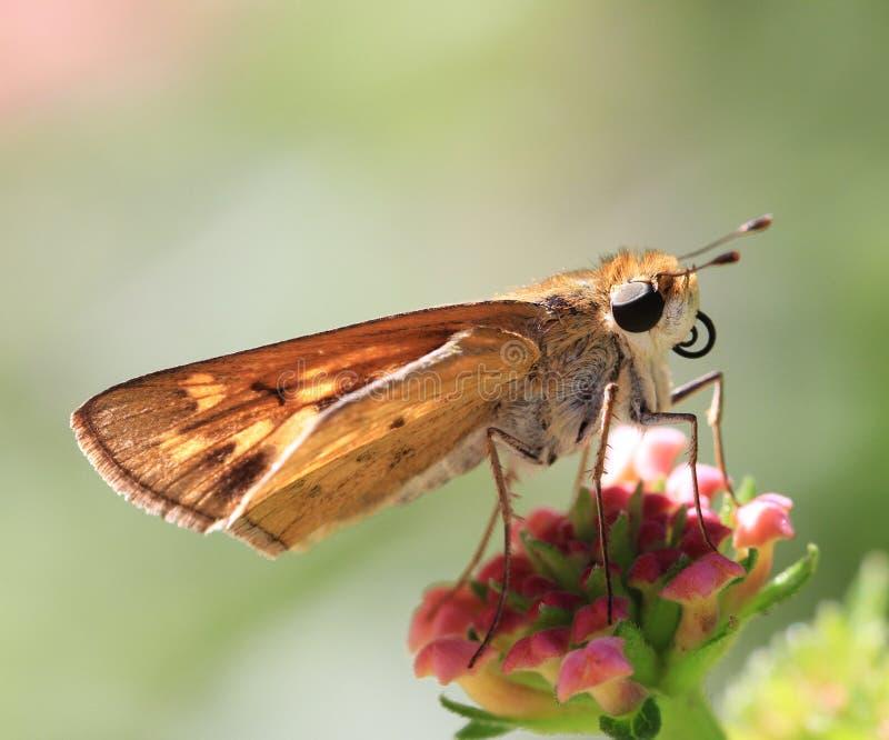 Summers Butterflies Stock Image