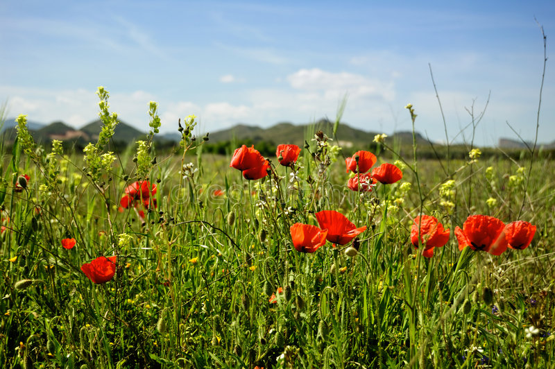 Download Summertime - stock image. Image of meadow, poppy, color - 8959387