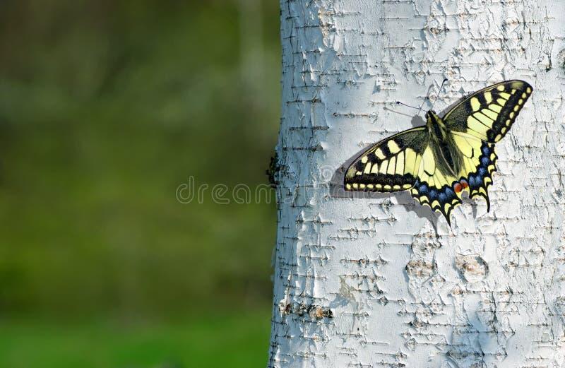 summertime Fondo di struttura della corteccia di betulla Farfalla che si siede su un albero di betulla Farfalla di coda di rondin immagine stock libera da diritti