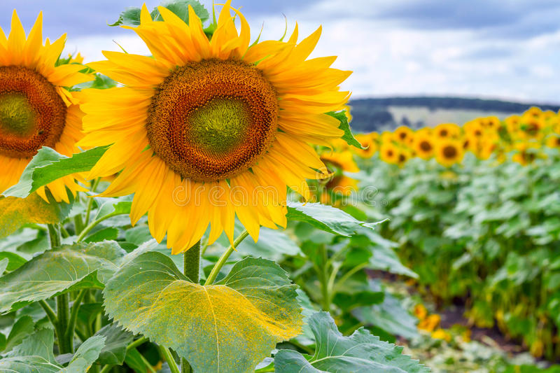 Summertime landscape - blooming sunflowers royalty free stock photo