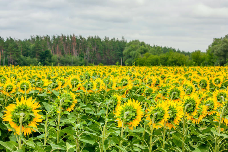 Summertime landscape - blooming sunflowers from the back royalty free stock images