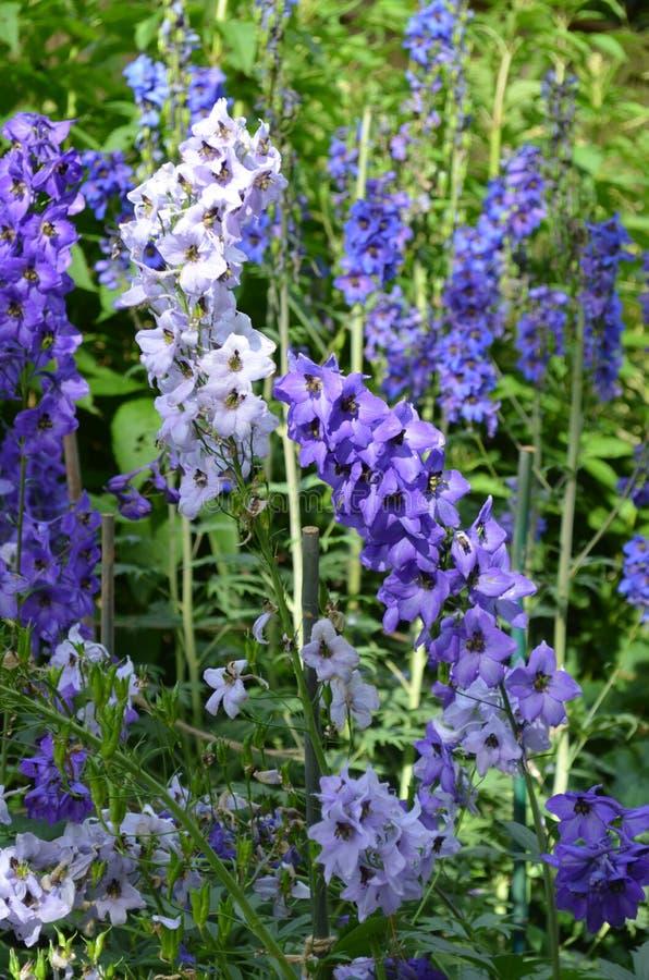 Summer in Nova Scotia: Closeup of Delphinium Flowers. Summertime in Nova Scotia: Closeup of Violet Delphinium Larkspur Flowers stock image