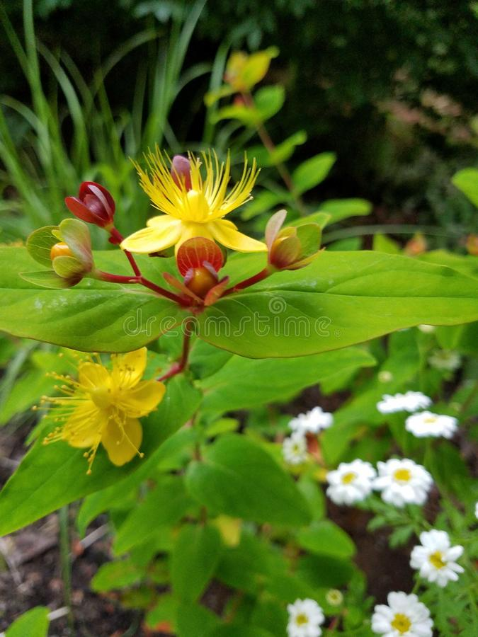 St. Johns Wort Flower. Summertime.red yellow flower of st. Johns wort plant royalty free stock images