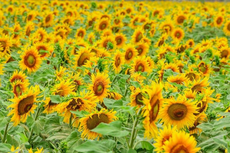 Summertime rural landscape - field of sunflowers stock image