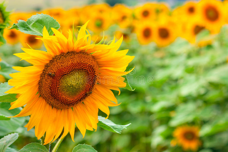 Summertime rural landscape - field of sunflowers royalty free stock image