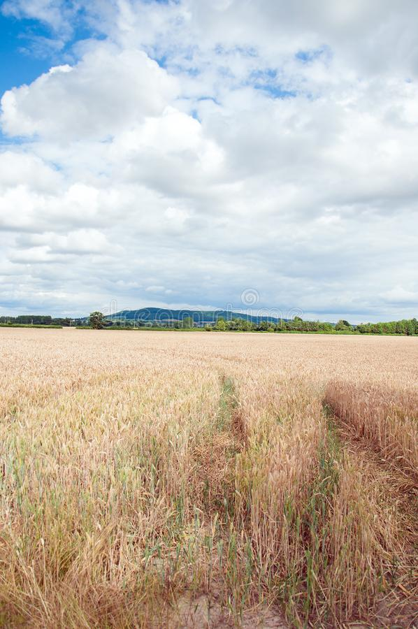 Summertime wheat fields in the English countryside. A rural summertime landscape scene with clouds and blue skies and wheat fields in the British countryside royalty free stock photos