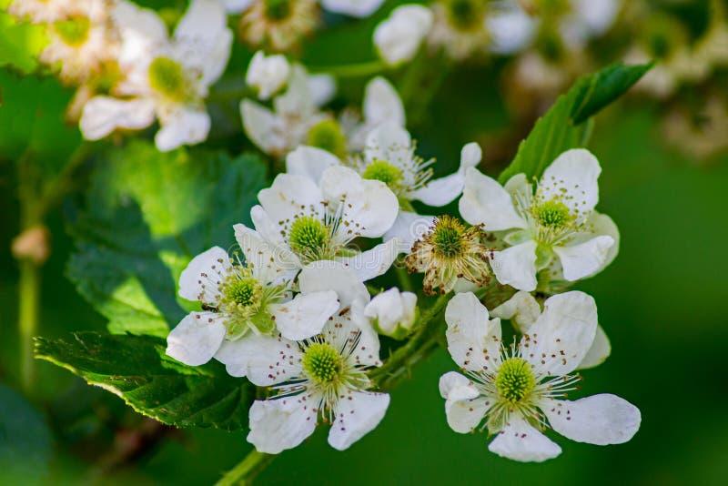 Sumpf-Brombeere - Rubus hispidus lizenzfreie stockfotos