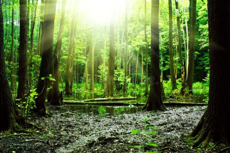 Sumpf in einem Wald lizenzfreies stockbild