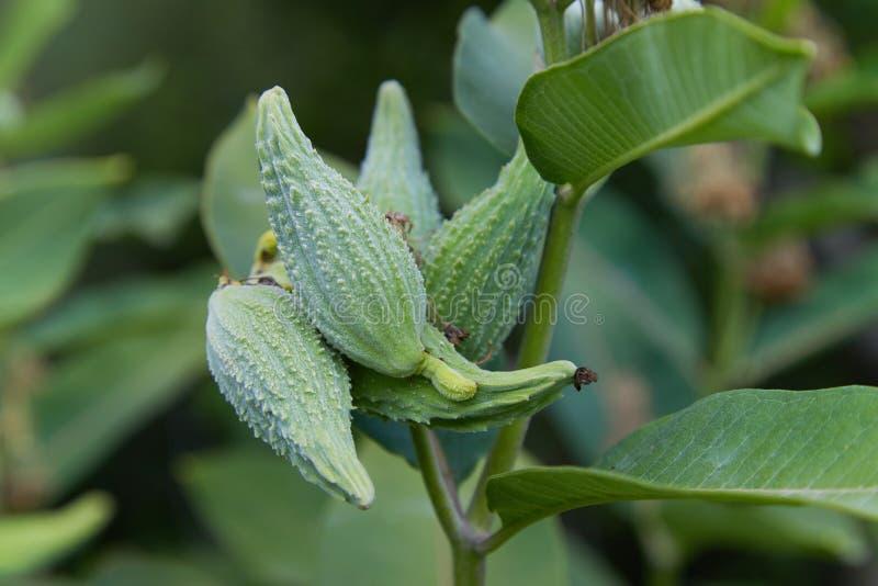 Sumpf Milkweed Wildflower Asclepias incarnata, Asclepias speciosa stockbild