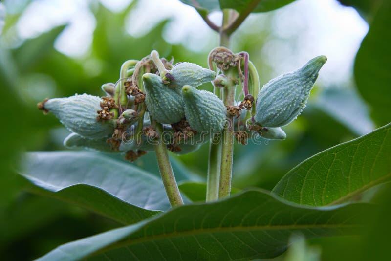 Sumpf Milkweed Wildflower Asclepias incarnata, Asclepias speciosa lizenzfreie stockfotos