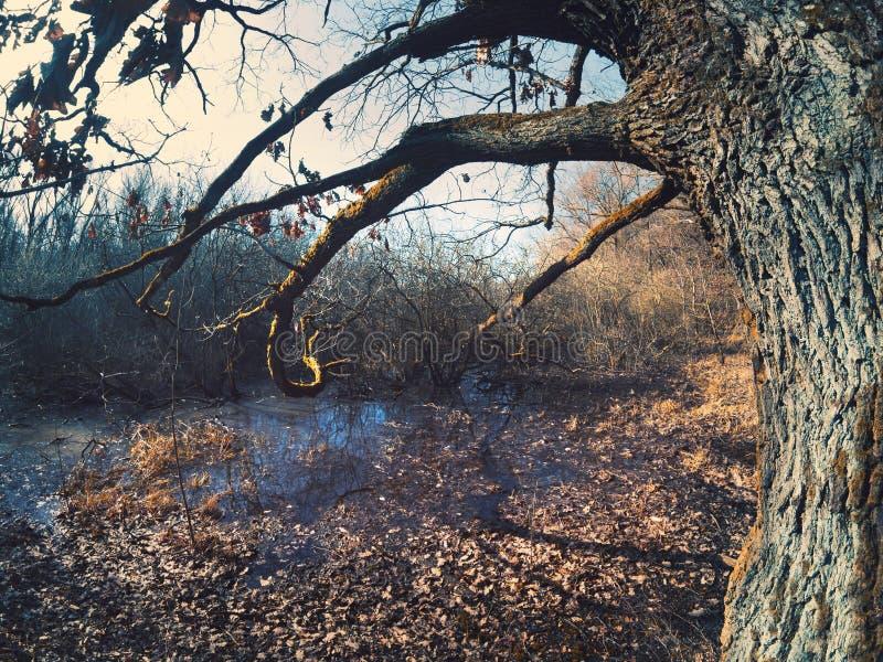 Sumpf mit altem Baum im Steigerwald-Wald stockfotografie