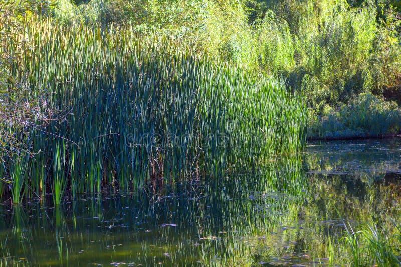 Sumpf mit grünem Schilf lizenzfreie stockfotos