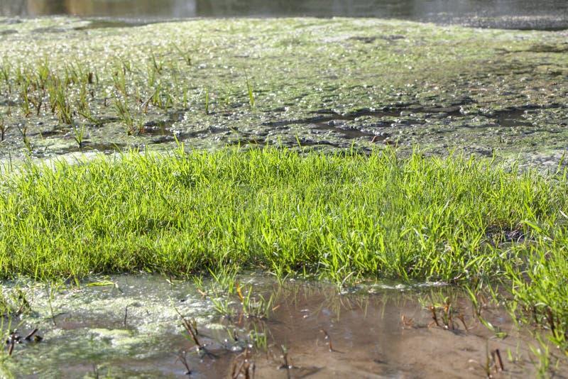 Sumpf mit Schilf auf Oberfläche stockfotografie