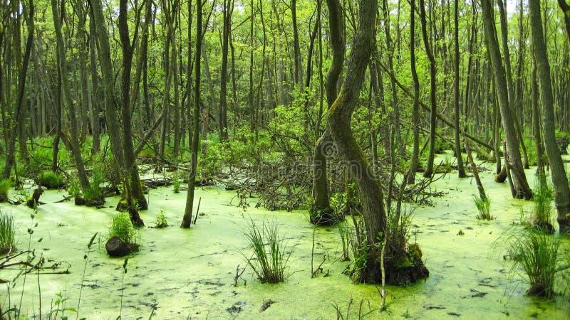 Sumpf, nahe Prerow lizenzfreies stockbild