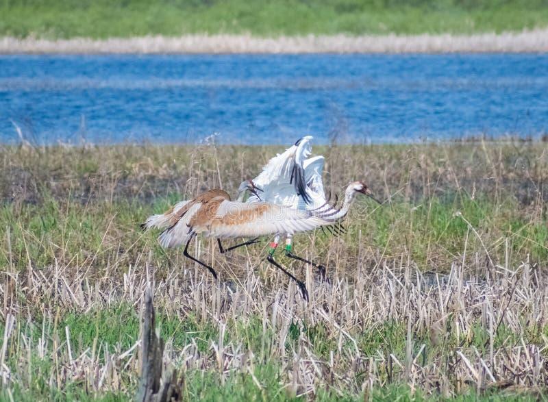 Sumpf Sandhill Crane Attacking Another Crane In stockbilder