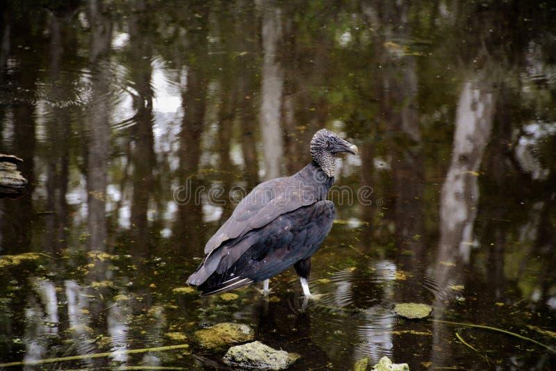 Sumpfgebietgeier, der im Teich mit Spiegelreflexionen von Bäumen im Teich stillsteht stockbilder