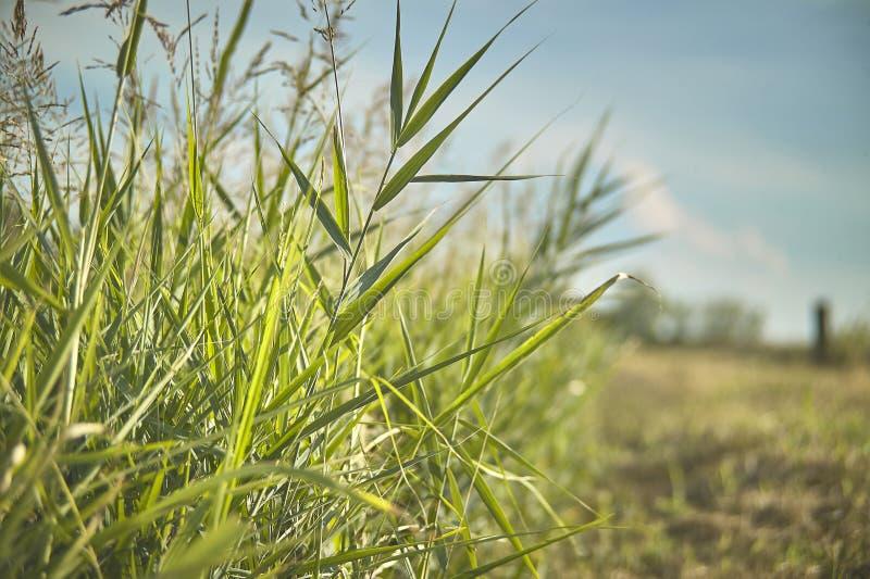 Download Sumpfige Vegetation Bei Sonnenuntergang Stockbild - Bild von gras, üppig: 96932403