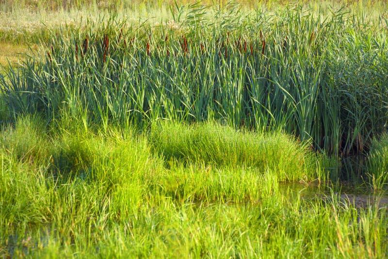 Sumpflandschaft mit grünem Schilf stockfoto