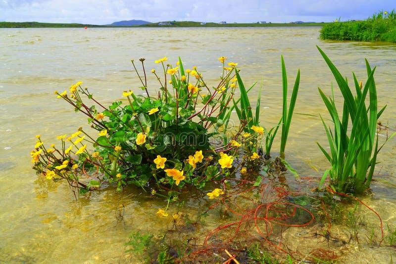 Sumpfringelblumenanlage am Rand von See stockfotos