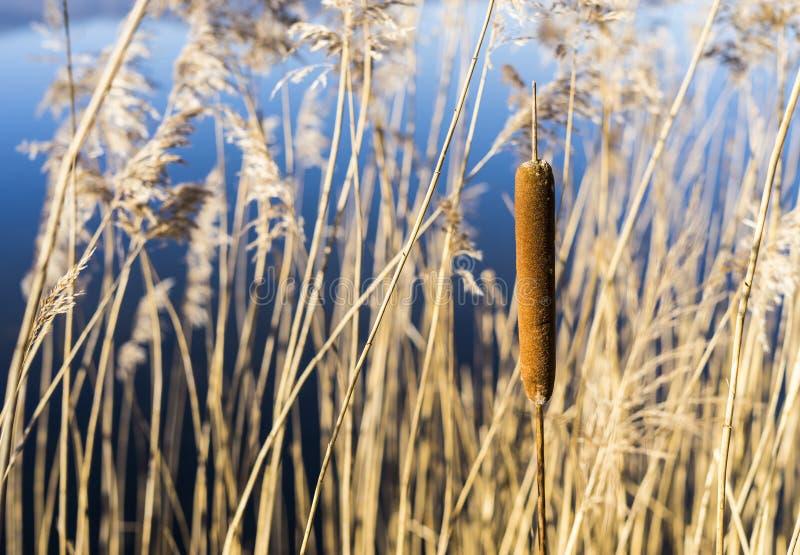 Sumpfstöcke wässern Reed Plant Cattails lizenzfreie stockfotos