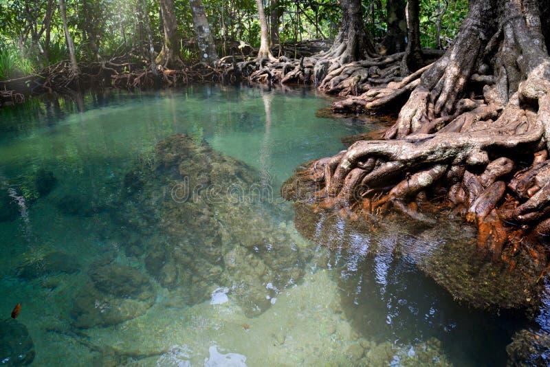 Sumpfwald, Krabi, Thailand lizenzfreie stockfotos