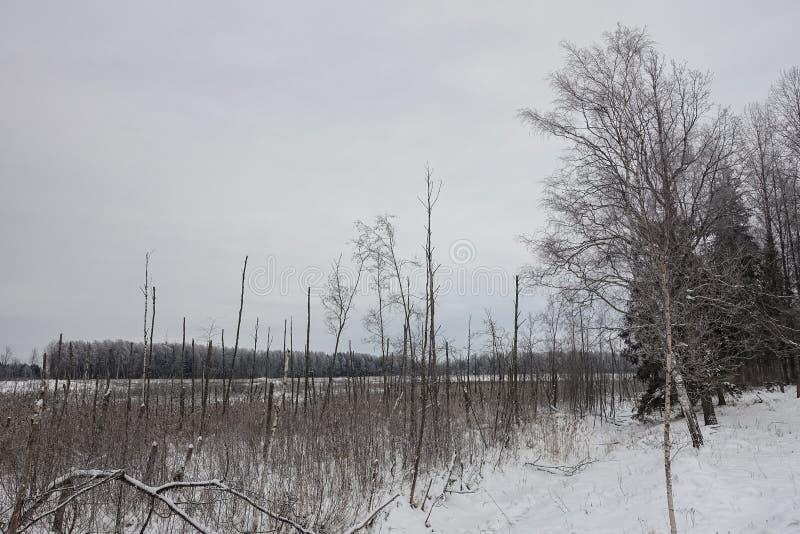 Sumpigt ställe med döda björkstammar och vasser royaltyfri foto