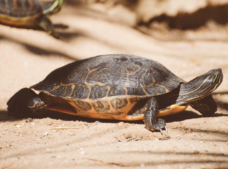 Sumpsköldpadda för damm slider arkivbild