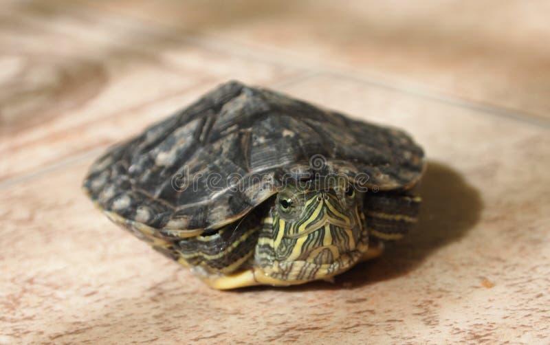 Sumpsköldpadda för damm slider arkivfoton