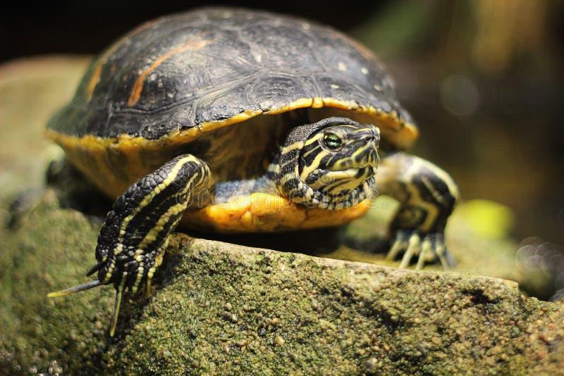 Sumpsköldpadda för damm slider royaltyfria bilder