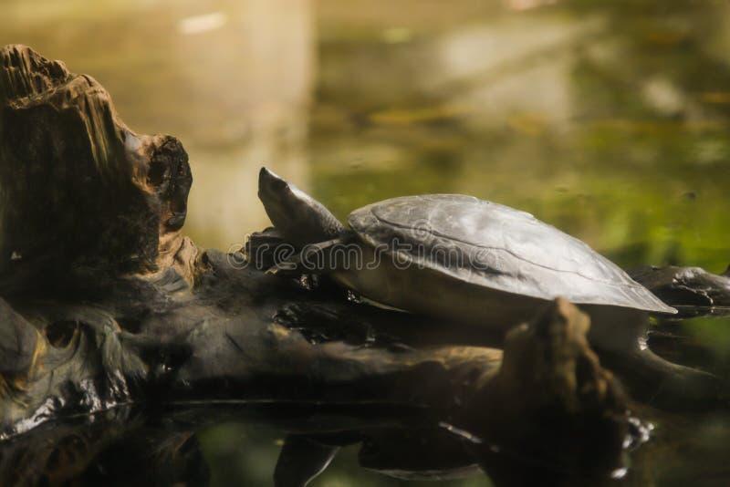 Sumpsköldpaddan för mangrovesumpsköldpaddafloden, den jätte- flodsumpsköldpaddan är den riverine sköldpaddan, Asien största sötva arkivbild